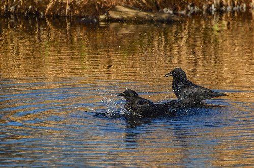 <p><i>Corvus caurinus</i>, Corvidae<br /> Burnaby Lake Park, Burnaby, British Columbia, Canada<br /> Nikon D5100, 70-300 mm f/4.5-5.6<br /> February 28, 2015</p>