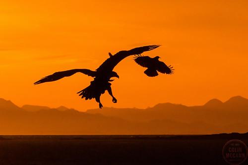 morning canada sunrise point dawn early bc eagle britishcolumbia wildlife stock baldeagle victoria vancouverisland american pt clover photogrpahy