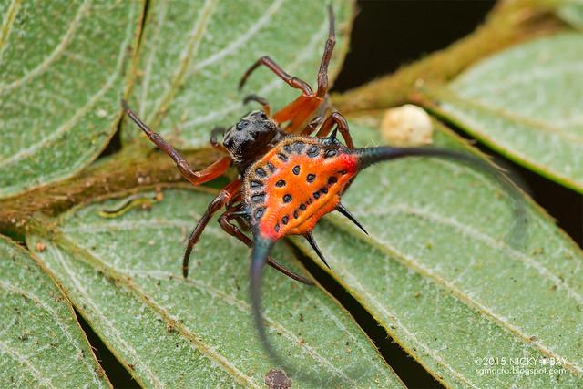 Longhorn orb web spider (Macracantha arcuata) - DSC_3862