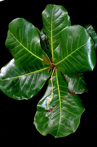 Terminalia catappa DSC_0166