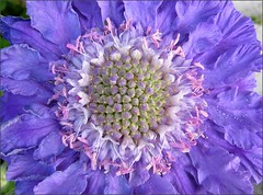 Pincushion Flower, close up