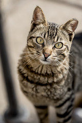 animal, tabby cat, toyger, small to medium-sized cats, pet, mammal, european shorthair, pixie-bob, fauna, american shorthair, close-up, cat, wild cat, whiskers, domestic short-haired cat,
