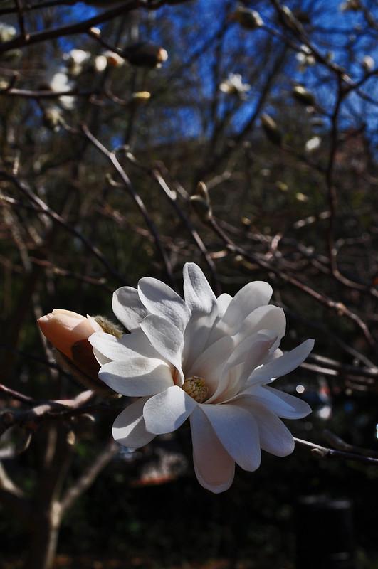 Magnoia stellata