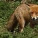 Foxy bingo. by Sandra Standbridge.