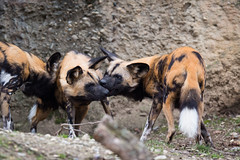 african wild dogs again