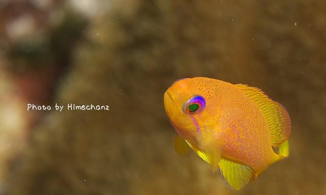 キンギョハナダイ幼魚。ほんまにかわいい。