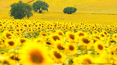 Big sunflower fields in Thailand