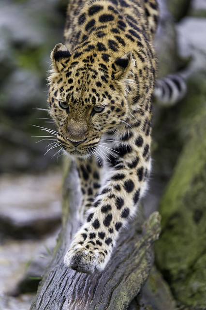 Young leopardess walking on the branch