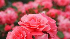 Rose, Magali, バラ, マガリ,