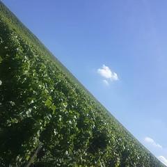 La #Diagonale de #Condé #sunshine #Happygrower #Champagne #Tarlant #Vigneron #depuis1687 #nofilter #igersreims