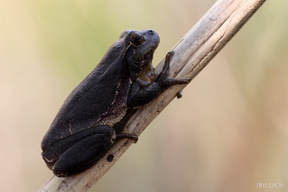 black european tree frog - schwarzer Laubfrosch - Melanismus @ Leipzig Auwald 2013