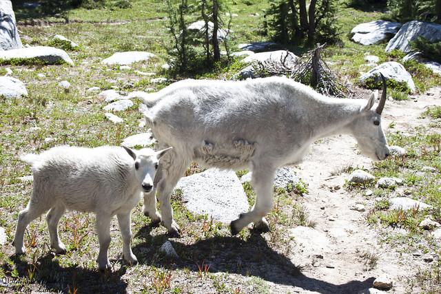 goats9