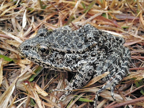 The Dusky Gopher Frog, once known as the Mississippi Gopher Frog, has an average length of about three inches and a stocky body with colors on its back that range from black to brown or gray and is covered with dark spots and warts. (Western Carolina University photo/ John A. Tupy)