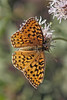 Coronis Fritillary by Ron Wolf (...detests this new design...)