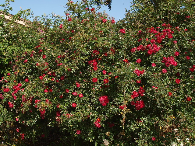 M5046221 red wand roses