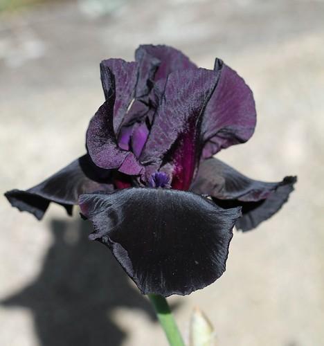 Iris - floraisons 2011 - Page 2 8735045601_6912031008