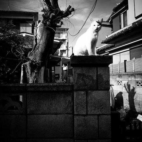Japanese Bobtail Feline Protecting the Gates in Kasai, Tokyo