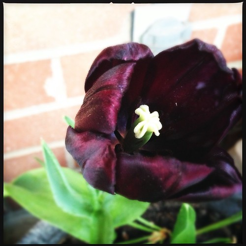 T. Paul Scherer tulip