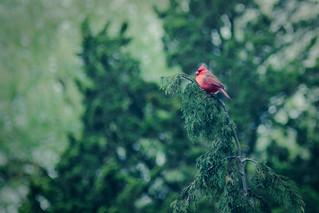 Red bird - 10/365