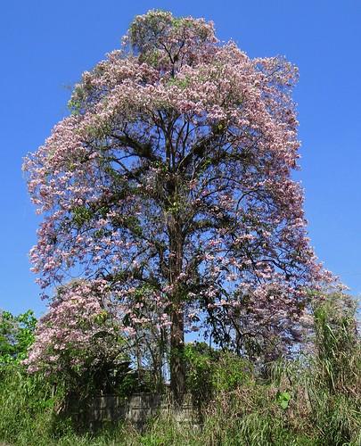 tree southamerica arbol venezuela marcaribe caribbeansea tabebuia barlovento suramérica bignoniaceae neotropic northernsouthamerica pinkpoui apamate tabebuiarosea neotrópico nortedesuramérica rosytrumpettree
