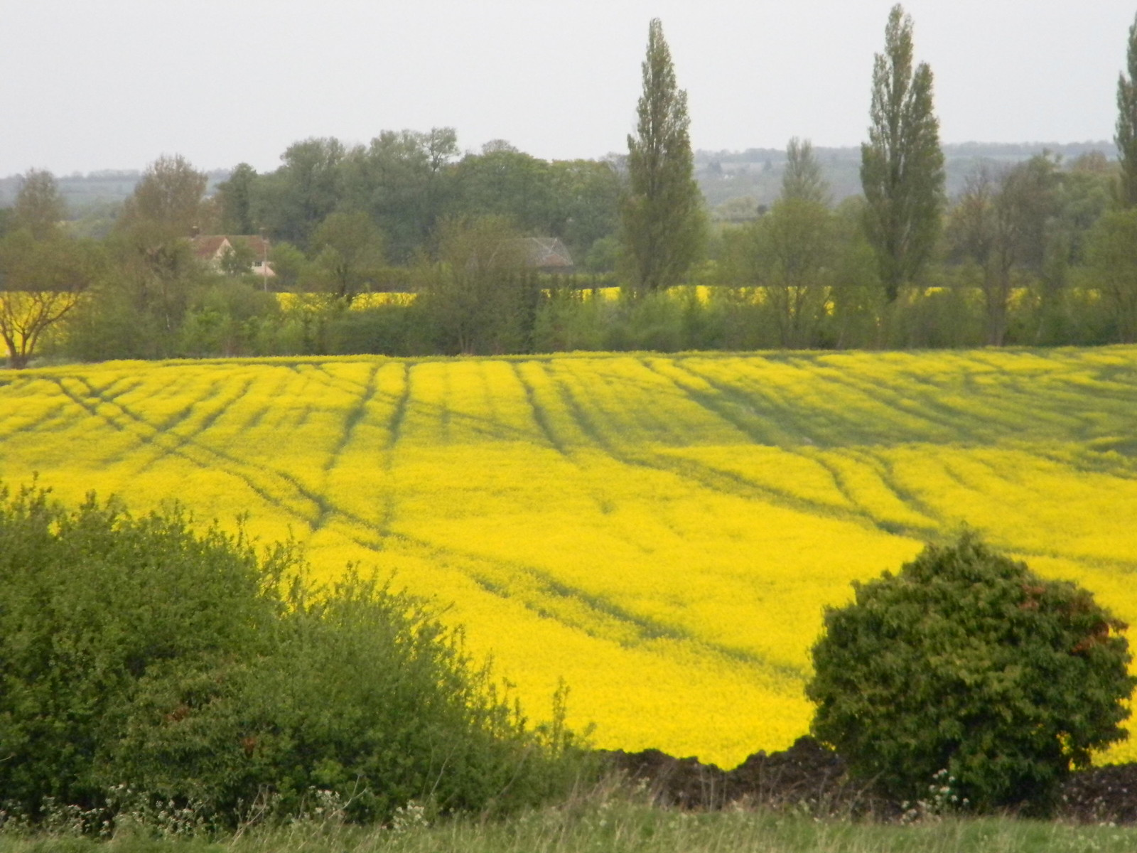 Yellow field Baldock Circular