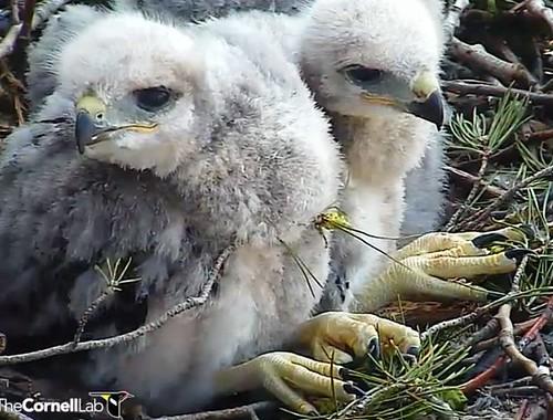 Little hawks 5-14-13