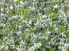 berry(0.0), produce(0.0), blossom(1.0), shrub(1.0), flower(1.0), branch(1.0), tree(1.0), plant(1.0), flora(1.0), prunus spinosa(1.0), spring(1.0),
