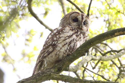 Another great day Tawny Owl