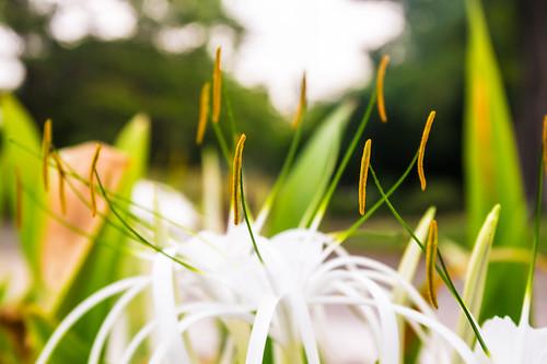 india flower green closeup colorful dof bokeh samsung chennai tamilnadu filament kumar anther kumaravel cathedralrd nx100 samsungnx samsungnx100 semmozhipoonga nx100samsung semmozhipoongacathedralrdchennaitamilnaduindia
