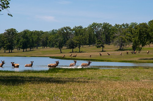 Elk in one of the many lakes