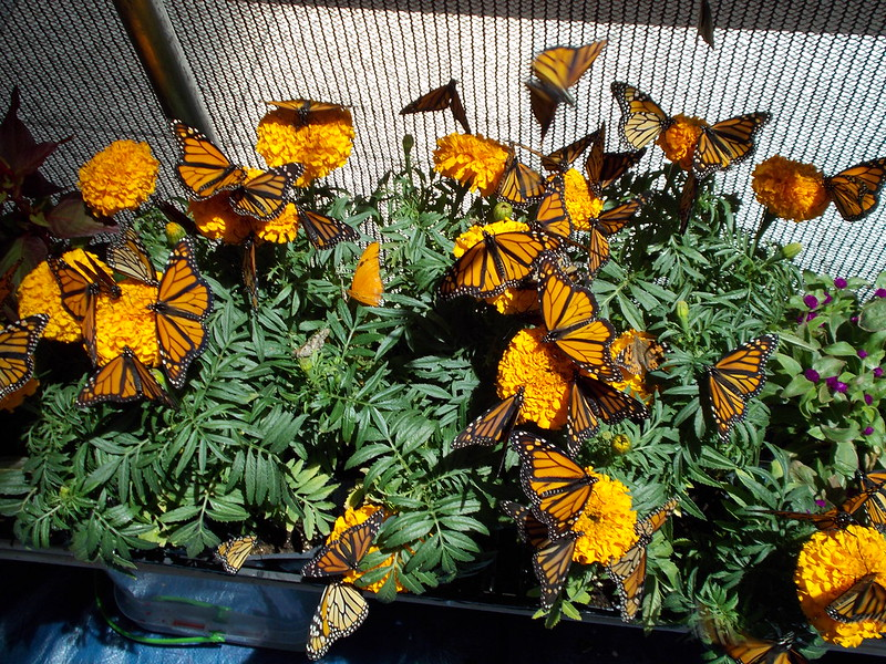 12th Annual Kiwanis Butterfly Festival in Plano
