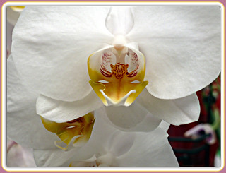 ~~~ White Orchid ~~~