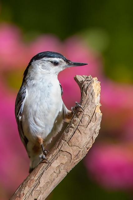 backyard birds of virginia