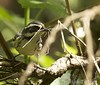 Black-throated Gray Warbler with nesting material