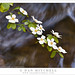Dogwood Blossoms, Rushing Water