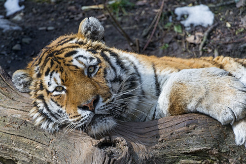 Coto posing relaxed by Tambako the Jaguar