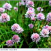 Small photo of Allium schoenoprasum o cebollino