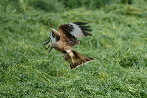 What do red kites eat?