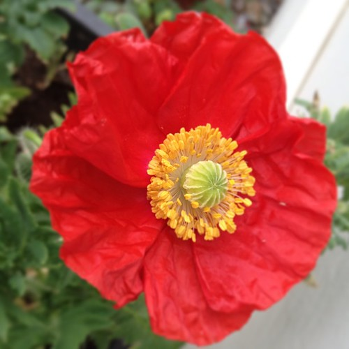 Yay! The first of my poppies have appeared!