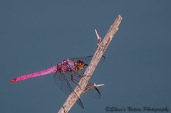 Pretty In Pink Dragonfly by Sheen's Nature Photography