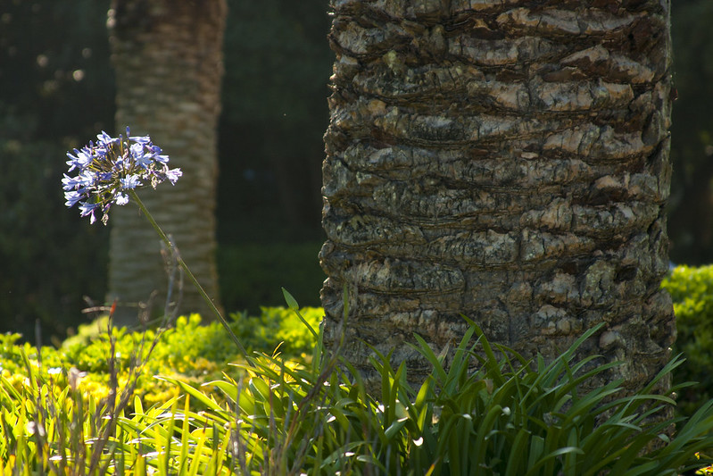 Conservatory agapanthus peekaboo