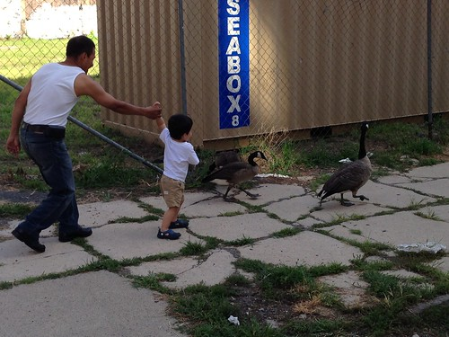Father and son chasing Canadian geese, Jersey City