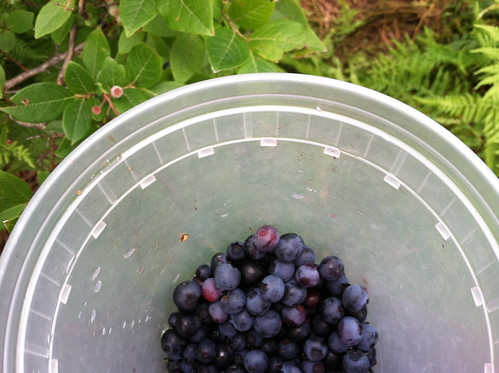 wild blueberry picking