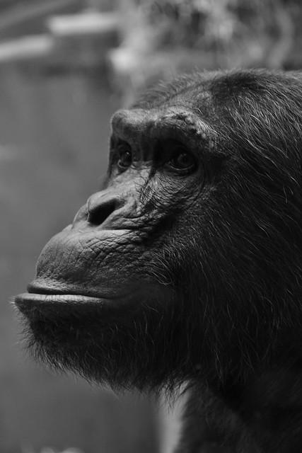 monkey portret