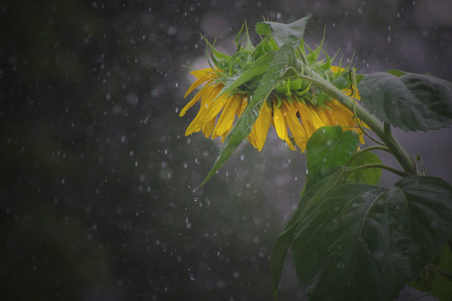 a sunflower in the rain