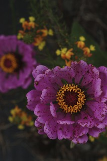 Zinnia 'Violet Queen' and Bulbine frutescens 'Hallmark'