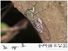 岩崎寒蟬-01(雄蟲)