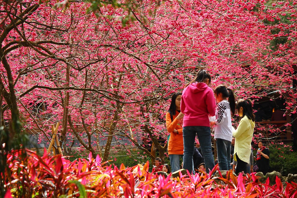 九族櫻花祭 (166)