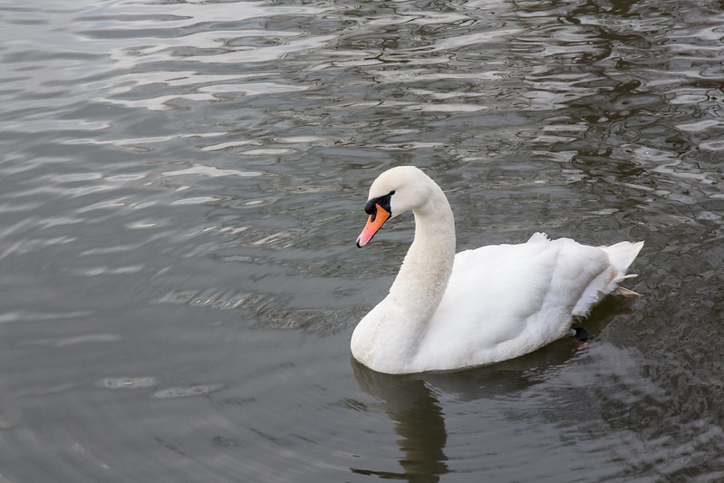 swanning about