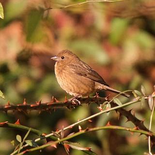 Blanford's Rosefinch